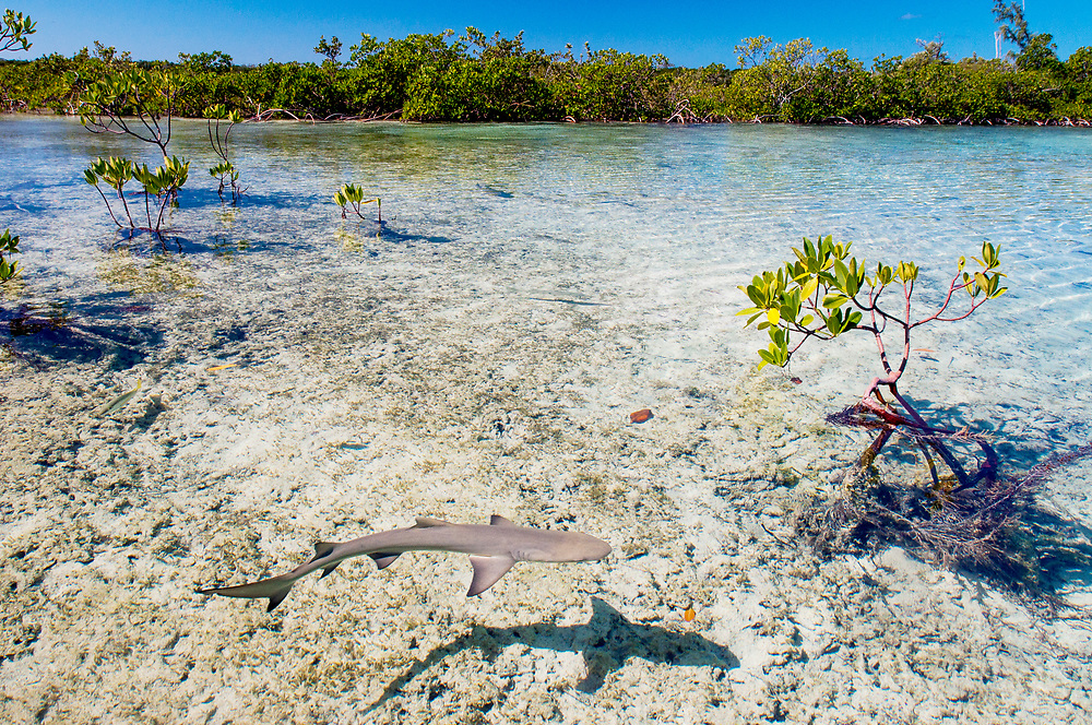 Lemon shark pups (Negaprion brevirostris) spend the first 5-8 years of their life in mangrove forests. The tangle of roots provides protection from predators like large sharks and is full of potential prey like juvenile fish and crabs. Lemon sharks are the first species of shark proven to practice natal philopatry where the mother will return to the same area she was born in to give birth. Mangroves are being lost at unsustainable rates thanks to coastal development. Image made on Eleuthera, Bahamas.