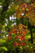 A splash of orange acer leaves in the Kenrokuen Garden, Kanazawa, Ishigawa, Japan