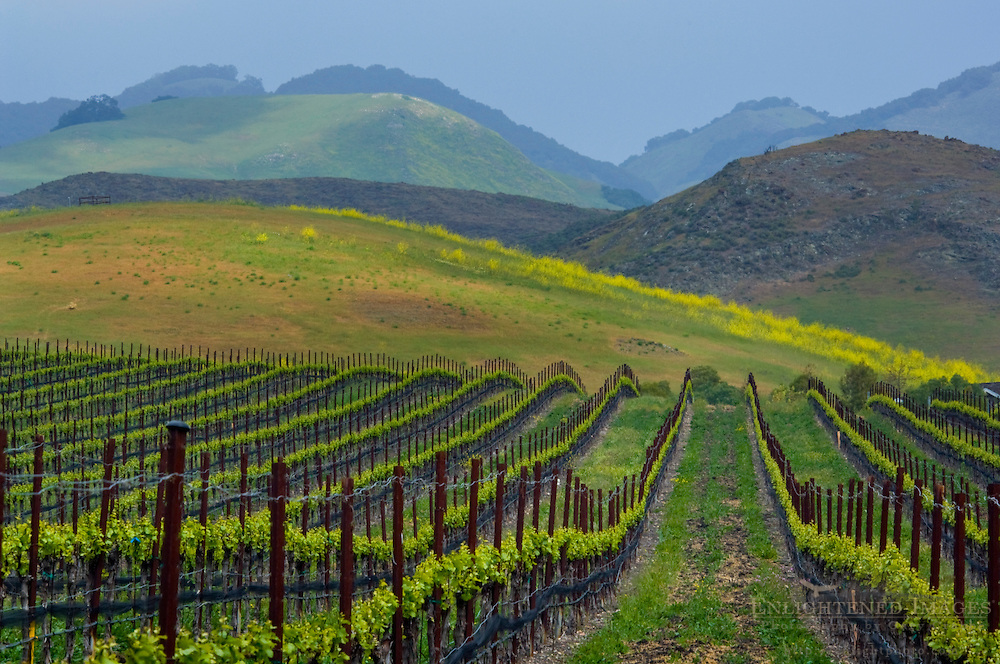 Rows of wine grape vines in vineyard and green hills in Spring, Edna Valley, San Luis Obispo County, California