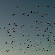 White Ibis (Eudocimus albus) Flock returing to rookery in evening. In flight. Near Boca Grande, Florida.