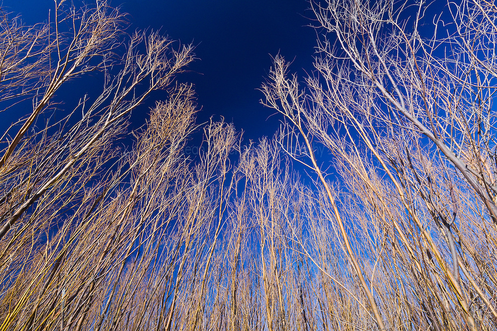 Willow trees and blue sky, Bosque del Apache National Wildlife Refuge, New Mexico, USA