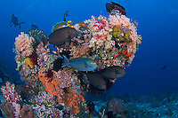 Yellowmask Surgeonfishes, Soft Corals, and Diver