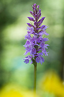 Dactylorhiza fuchsii; Common spotted orchid, mountain area near Steg, Liechtenstein