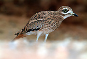 Stone Curlew, Burhinus oedicnemus, in desert environment, large eyes, long legs, found throughout Europe and Africa.
