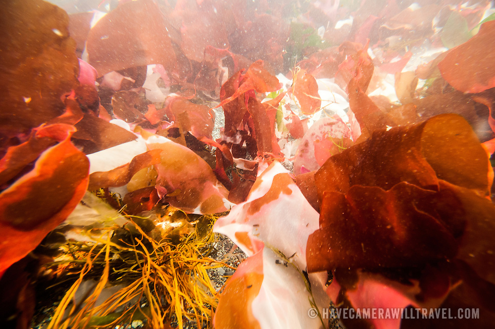 An underwater shot of richly colored Antarctic seaweed on the northern end of the Antarctic Peninsula.