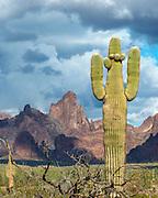 Saguaro Cactus and Three Clouds, Kofa Wilderness, Kofa National Wildlife Refuge, Yuma County, Arizona