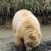 Alaskan Brown Bear, (Ursus middendorffi) Cub digging for clams. Alaskan Peninsula.