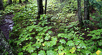 Brilliant green leaves carpet the rain forest floor, BC Canada