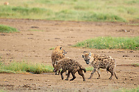 Three Spotted Hyenas, Crocuta crocuta, walk together in Lake Nakuru National Park, Kenya. The individual on the right could be male or female. Female hyenas have an enlarged clitoris or pseudopenis that is so similar to male genitalia that it can be impossible to tell the sexes apart in the field.