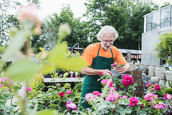 Male gardener trimming roses in greenhouse, Augsburg, Bavaria, Germany