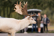Fallow Deer prepare for the autumn rut in Bushy Park. London, UK.