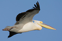 White Pelican (Pelecanus onocrotalus) in the Danube Delta, Romania. May 2009 <br /> Mission: Danube Delta