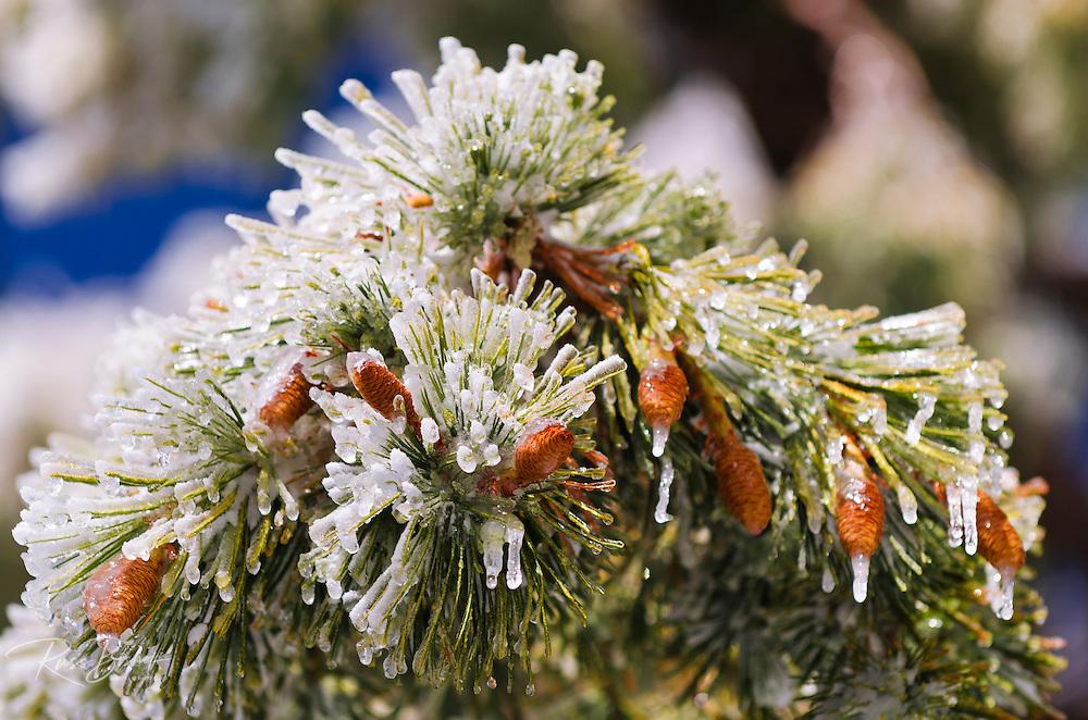 Rime ice on pine cones and needles, San Bernardino National Forest, California USA