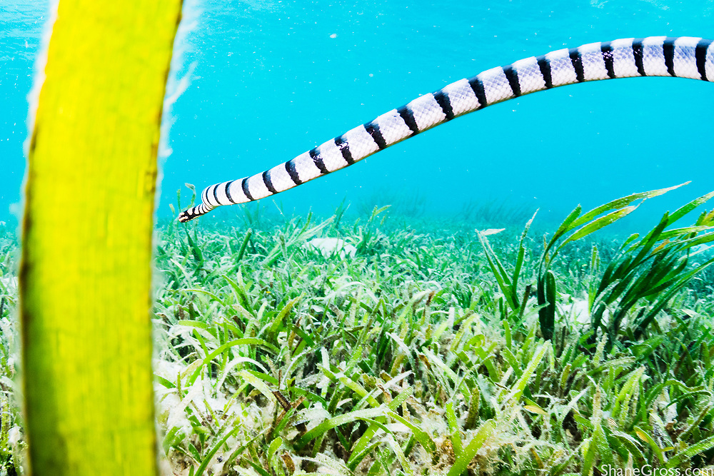 A banded sea krait hunts among the seagrass meadows of Indonesia
