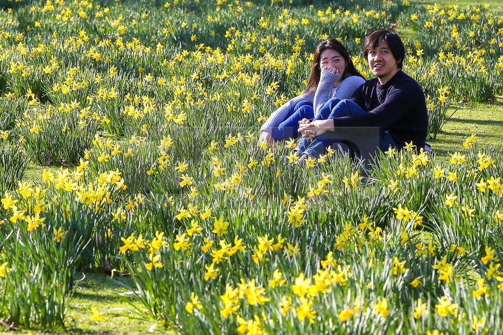 © Licensed to London News Pictures. 23/02/2019. London, UK. A couple relaxes among daffodils in St James's Park during unseasonably warm weather in the UK. The spell of warm weather is set to bring temperatures this weekend close to the record for February. Photo credit: Dinendra Haria/LNP