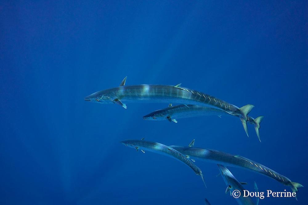 schooling juvenile wahoo or ono, Acanthocybium solandri, a pelagic mackerel, in open ocean off Kaiwi Point, Kona, Hawaii Island ( the Big Island ), U.S.A. ( Central Pacific Ocean )
