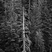 Dead and dying trees are increasingly visible throughout Mammoth Lakes and the Inyo National Forest.