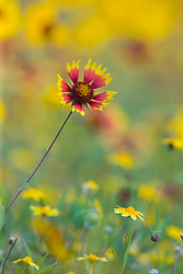 Indian Blanket, (Gaillardia pulchella) in field of yellow. Also called Firewheel.  , Texas Hill Country, US. North America