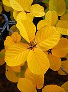 Golden color of Buckthorn, Ceanothus sp., growing from crack in Navajo Sandstone, Davis Gulch, Glen Canyon National Recreation Area, Utah.