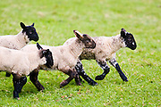 Lambs in the Cotswolds, United Kingdom, UK.