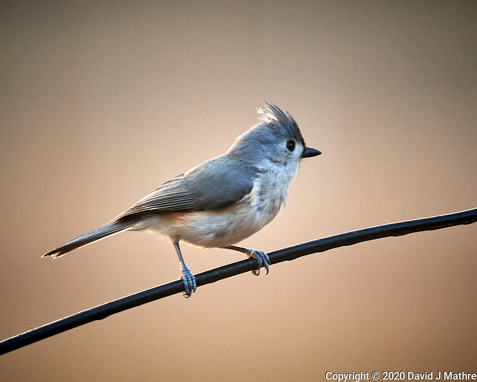 Tufted Titmouse. Image taken with a Nikon D5 camera and 600 mm f/4 lens (ISO 1600, 600 mm, f/4, 1/500 sec)