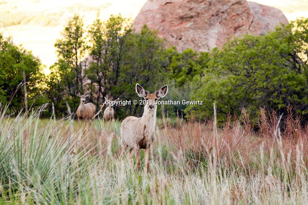 Foraging mule deer in a grassy meadow at sunup in South Valley Park Ken-Caryl Ranch Open Space, Colorado. WATERMARKS WILL NOT APPEAR ON PRINTS OR LICENSED IMAGES.