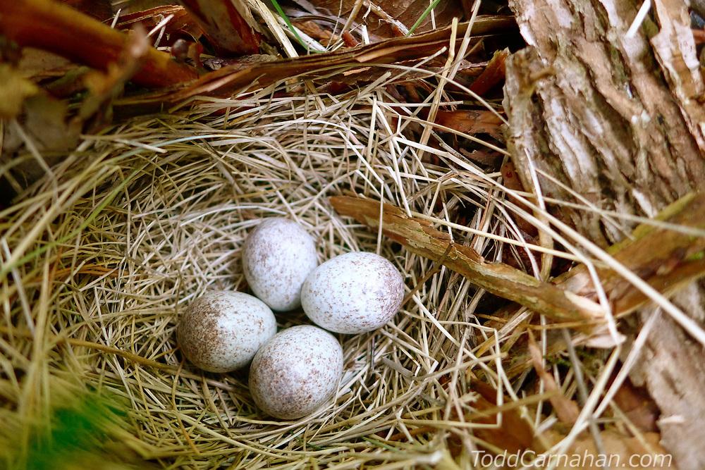 towhee nest bird egg sparrow ground