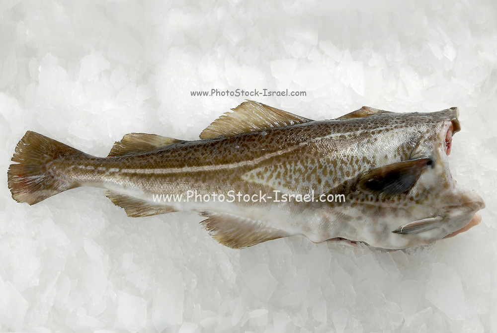 Fresh raw Trout on ice