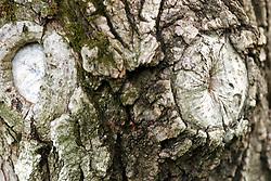 03 June 2005<br /> <br /> knots on tree trunk<br /> <br /> Comlara Park, McLean County, IL