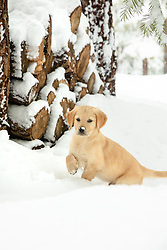 """""""Puppy in Truckee Snow 1"""" - Photograph of a Golden Retriever puppy """"Quill"""" playing in the snow in Truckee, California."""