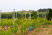 vineyard trellised moulin a vent beaujolais burgundy france