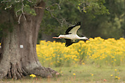 White stork (Ciconia ciconia) fledgling in flight at base of nest tree. Sussex, UK.