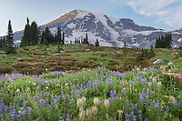 Wildflower meadows of Paradise containing  a mixture of Broadleaf Lupines, American Bistort, and Western Anenomes. Mount  Rainier National Park, Washington