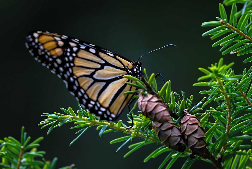 Butterfly photography from New England nature photographer Juergen Roth showing an eastern monarch in brilliant colors at The Gardens at Elm Bank in Wellesley, Massachusetts. Elm Bank is a beautiful outdoor area that features the garden, soccer fields and hiking trails along Charles River.<br /> <br /> Butterfly photos of this Eastern Monarch are available as museum quality photo prints, canvas prints, wood prints, acrylic prints or metal prints. Fine art prints may be framed and matted to the individual liking and decorating needs:<br /> <br /> https://juergen-roth.pixels.com/featured/eastern-monarch-juergen-roth.html<br /> <br /> All digital bird photo images are available for photography image licensing at www.RothGalleries.com. Please contact me direct with any questions or request.<br /> <br /> Good light and happy photo making!<br /> <br /> My best,<br /> <br /> Juergen<br /> Prints: http://www.rothgalleries.com<br /> Photo Blog: http://whereintheworldisjuergen.blogspot.com<br /> Instagram: https://www.instagram.com/rothgalleries<br /> Twitter: https://twitter.com/naturefineart<br /> Facebook: https://www.facebook.com/naturefineart