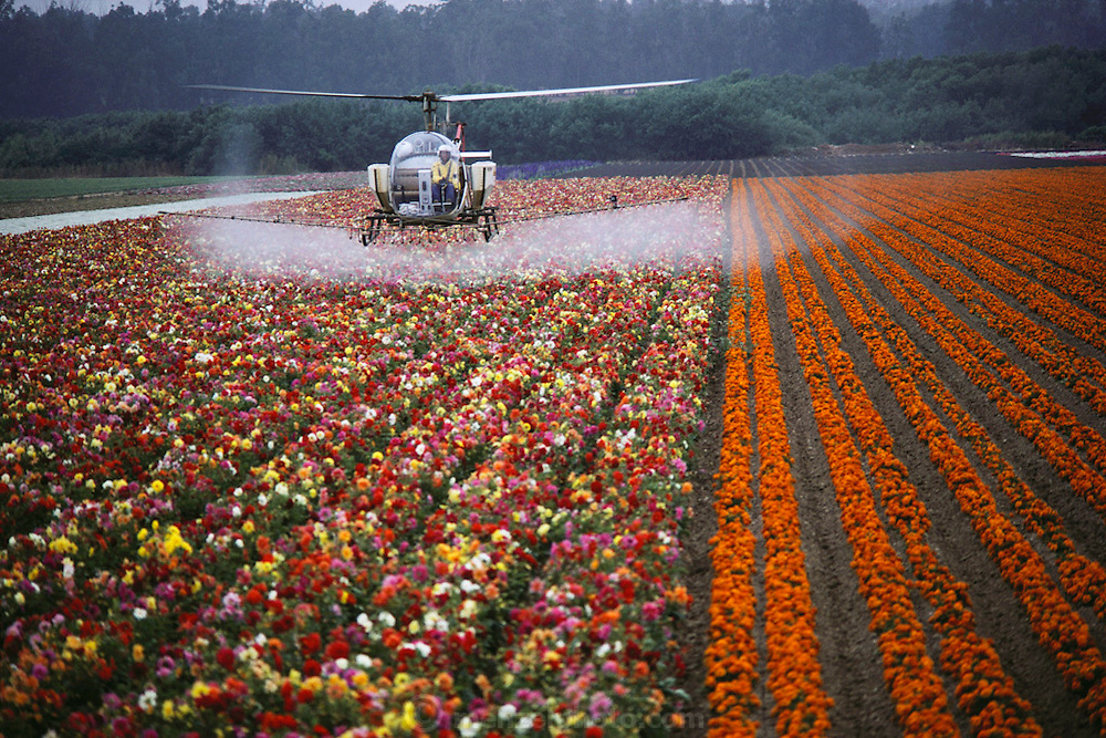 A helicopter sprays flowers grown for seed: Lompoc, California. USA. The Lompoc Valley is said to have the most consistent temperate climate in the world, which is a critical factor in the cultivation of flowers.  The valley has been a flower seed-producing region for nearly 100 years. In the early 1980's, Lompoc Valley was producing one-third of the world's flower seeds.  Lompoc is a 12-mile-long, and 3-mile-wide valley, which lies just inland from the coast of California, about 150 miles north of Los Angeles. There are 1600 acres of 600 varieties of flowers from which they harvest approximately 400 tons of seeds each year. Crop dusting of flower fields (spraying pesticides).