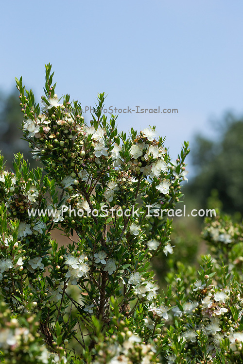 Myrtus communis, the common myrtle, is a species of flowering plant in the myrtle family Myrtaceae. It is an evergreen shrub native to southern Europe, north Africa, western Asia, Macaronesia, and the Indian Subcontinent. It is one of the four species used by Jews in their religious rituals on the festival of Sukkot.  Photographed in Israel in May