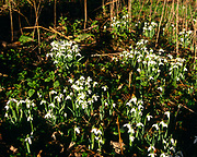A07YJ5 Snowdrops in English woodland