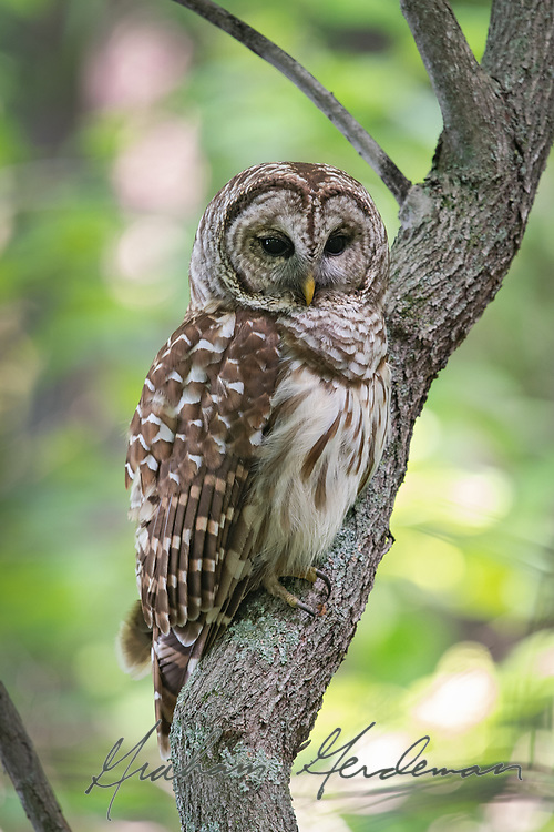 Barred Owl in a tree.