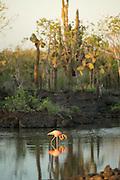 Flamingo, Phoenicopterus ruber, Playa Bachas, Santa Cruz Island, Galapagos Islands, Ecuador, South America