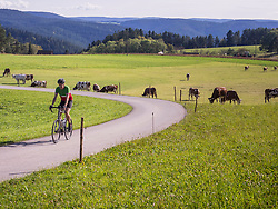 Cyclist passing by cows grazing on field in the Middle Black Forest, Germany