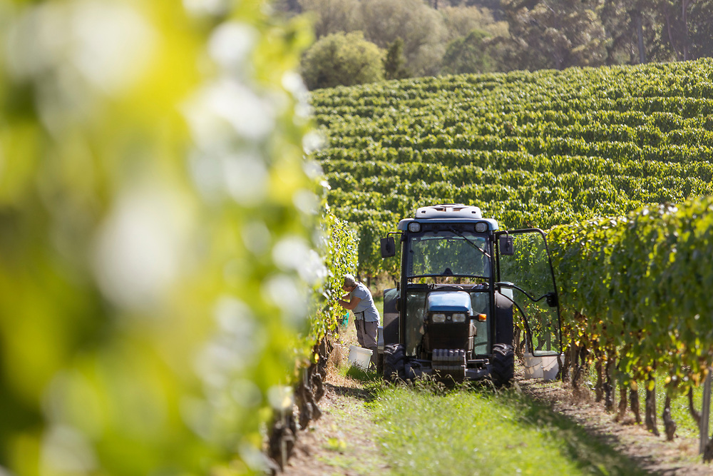 Hand picking grapes, vines. Neslon vineyard<br /> Upper Moutere.<br /> Heaphy Vineyard,