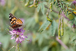 Painted lady butterfly on Rocky Mountain bee plant, Vermejo Park Ranch, New Mexico, USA.