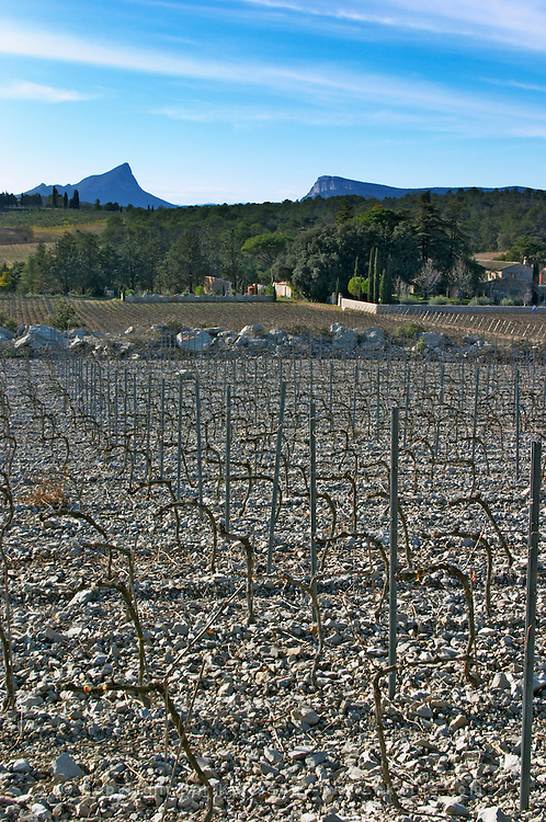 Domaine de Mas de Martin, St Bauzille de Montmel. The Pic St Loup mountain top peak. and The Montagne Massif de l'Hortus mountain cliff in the distance. Gres de Montpellier. Languedoc. Vines trained in Cordon royat pruning. In the vineyard. France. Europe. Mountains in the background.