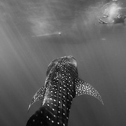 Whale shark (Rhincodon typus) ascending beneath banca tour boat with snorkeller on the surface, Honda Bay, Palawan, the Philppines