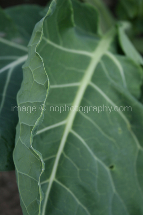 Brussel sprout plant leaf