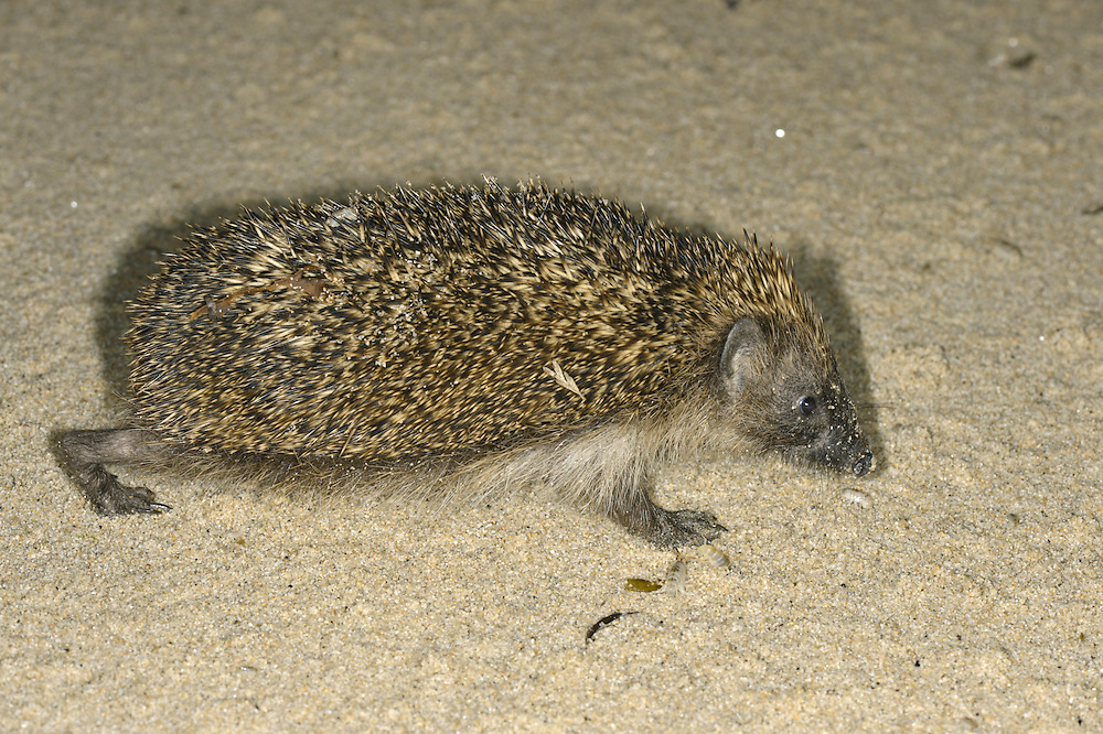 Hedgehog Erinaceus europaeus on the beach, Isles of Scilly Length 23-27cm Mainly nocturnal animal, protected by spines (modified hairs). Feeds mainly on invertebrates but will take food put out by people. Hibernates from Oct-Apr. Spines are erectile and an effective deterrent when animal rolls into a defensive ball. Head and underparts are covered in coarse hairs. Muzzle-shaped head ends in a sensitive nose. Utters a pig-like squeal in distress, and grunts when courting. Familiar garden resident.