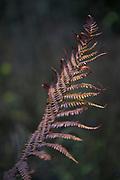 Male fern (Dryopteris filix-mas) after first frosty mornings in autumn, Kemeri National Park (Ķemeru Nacionālais parks), Latvia Ⓒ Davis Ulands | davisulands.com