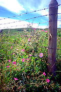 Western country scene barbed wire fence and flowers.  Alberta Canada