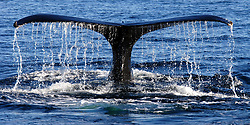 A symmetrical image of a Humpback Whale tail as it makes its deep dive on Stellwagon Bank Marine Sanctuary, Massachusetts.