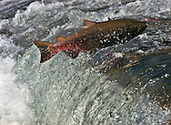 A male Chinook salmon nears the end of his journey from the sea to the waters of the American River and the Nimbus fish hatchery where he will fertilize the female eggs and then die, completing his life cycle. The annual migration of the salmon from the American River to the fish hatchery is facilitated by opening the gates of the fish ladder.  Approximately 700 fish a day will be allowed to progress up the ladder from now until mid-December when the steelhead salmon run begins.
